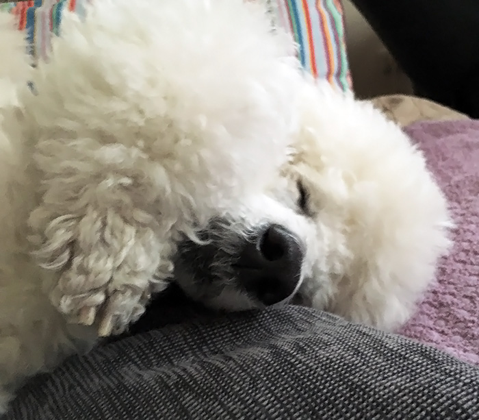 Image result for Poodles Hund schlafend